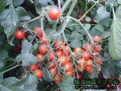 樱桃小番茄种苗