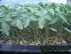 西红柿苗R35