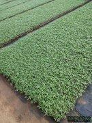 优质高产番茄苗